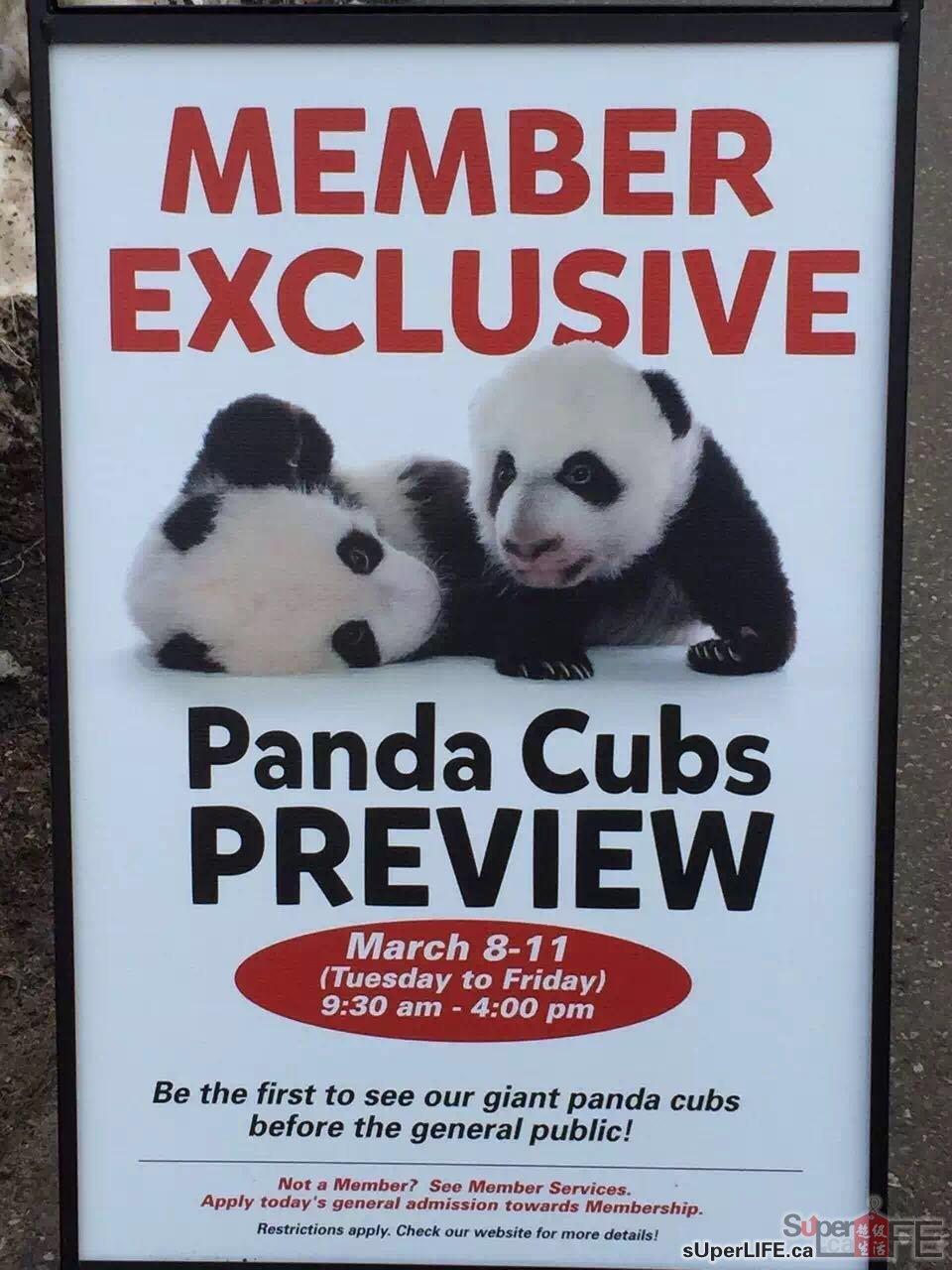 多伦多熊猫双胞胎宝宝今天首次亮相!