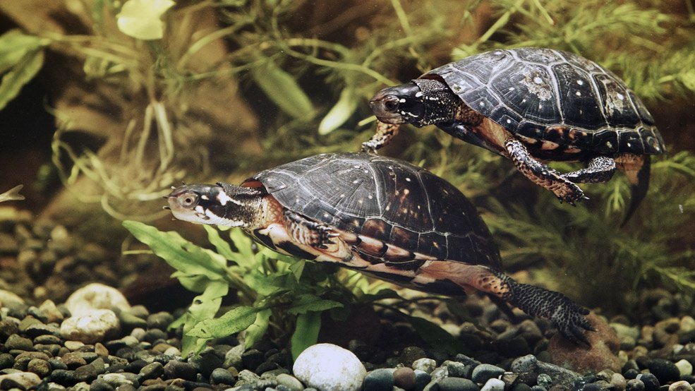 spotted-turtles-credit-Martin-Lipman-Canadian-Museum-of-Nature