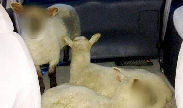 英警方给3只羊打马赛克:未成年不能透露身份(图)