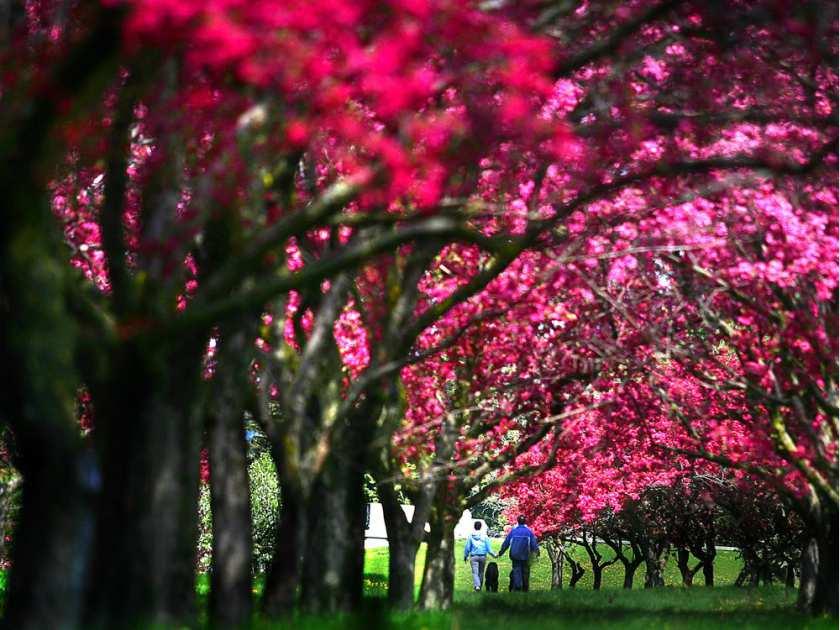 ottawa-ont-may-3-2010-a-couple-walk-along-flowered-tree