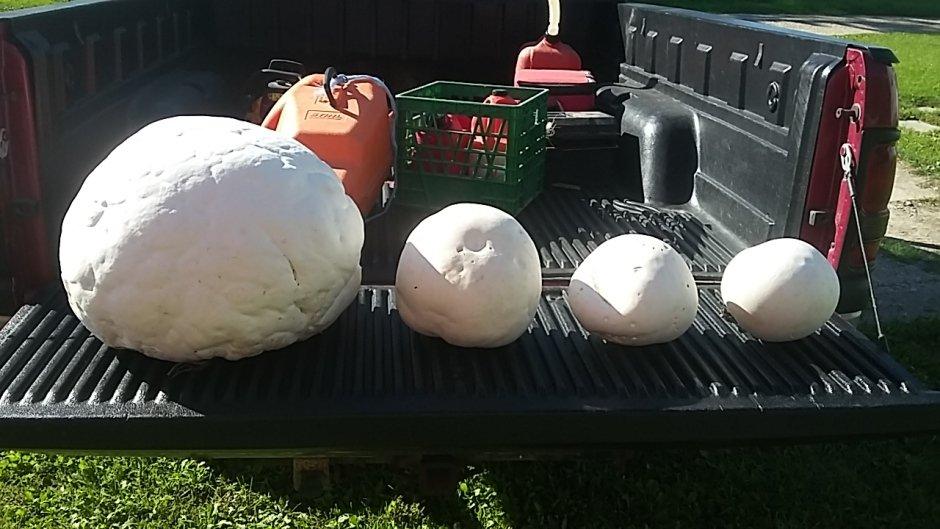 大蘑菇和其他几个小蘑菇在一起的集体照(图片来源:CBC)