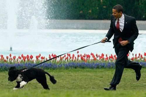 """奥巴马的""""白宫第一狗""""卸任前咬伤做客女孩(图)"""