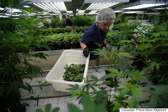 Tweed employee Ian Johnston trims  marijuana plants at their facility in Smiths Falls, Ontario on Thursday, Jan. 21, 2016. THE CANADIAN PRESS/Sean Kilpatrick