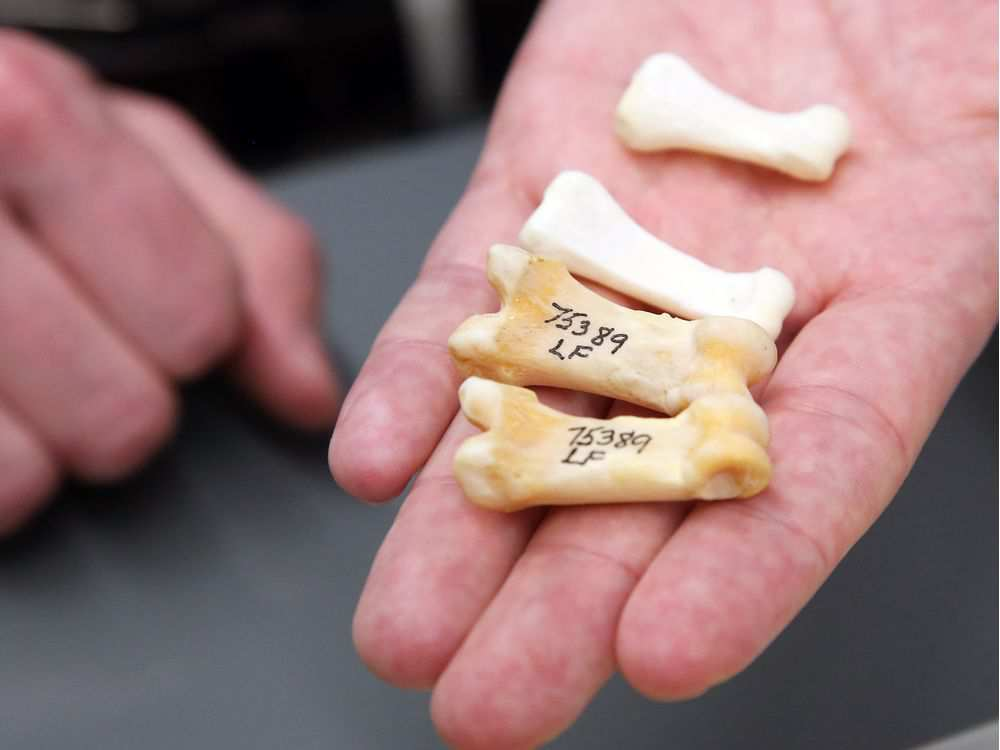 dr-scott-rufolo-shows-the-difference-between-bear-paw-bones1