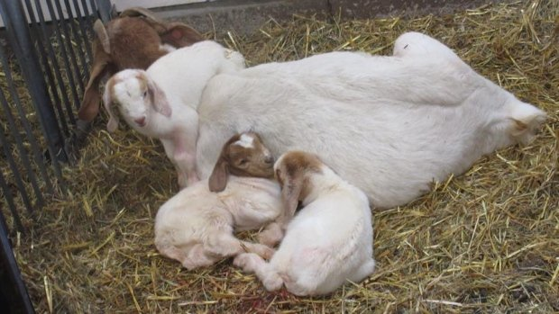 boer-goats-triplets-agriculture-museum